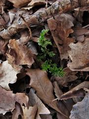 Breathe again (Espykrelle) Tags: nature green vert plante spring printemps feuillesmortes deadleaves leaves feuilles life vivant vie extérieur outside