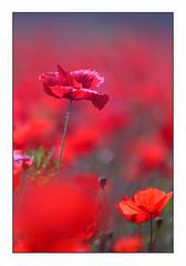 Amapolas, el mundo en rojo!! (Vicensalamas) Tags: roselles amapolas poppies papaveri coquelicots rojo campo canon composición primavera