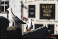 Gulls at the Black Bull_L7Q9954 (The Terry Eve Archive) Tags: gulls pub blackbull bokeh differentialfocus dof shallowdepthoffield herringgull wall bridge parapet