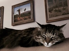 Chillin' (A Wild Western Heart) Tags: chuckythehorrible chucky cat gato chat tabby chillin rescue