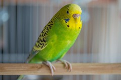 Lisa is almost ready to mate... (mArt Image) Tags: indoor animal budgie aviary female green yellow macro bird 105mmf28