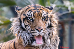 Khunde ♂ - Ready to Give a Big Yawn (Belteshazzar (AKA Harimau Kayu)) Tags: khunde tiger zoo cat asian asiancat bigcats sumatran pantheratigrissumatrae animal sumatratiger tigredesumatra суматранскийтигр tygrsumaterský tygryssumatrzański sumatraansetijger szumátraitigris uenozoologicalgardens tigre тигр tygr tijger tigris fuengirola spain ueno 수마트라호랑이 苏门答腊虎 虎 tokyo toodarnhot hổsumatra sumatrakaplanı เสือโคร่งสุมาตรา सुमात्रनवाघ სუმატრისვეფხვი טיגריססומטרה harimausumatera ببرسوماترایی predetor beast carnivorous flesheating tiikeri sumatrantiikeri the spaniard wonderful rembrandt rembrandtlighting the4thofjuly independenceday bathing swimming nobeastsofiercebut flehmen flehmenresponse king kingoftheenclosure feline mouser grimalkin mammal fierce predatory predator fierceanimal japan bathingtiger flickrbigcats higashiyamazoologicalgardens yagiyamazoologicalgardens sendai