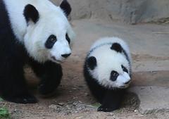 Xi Lun and Lun Lun (smileybears) Tags: zooatlanta panda pandacub pandatwins giantpanda bear yalun xilun lunlun