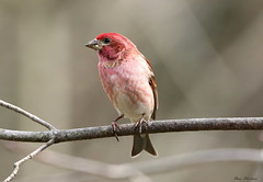 Spring Colors (Diane Marshman) Tags: male purple finch purplefinch small songbird bird rosey red head body wings notched tail brown white feathers spring northeast pa pennsylvania nature wildlife