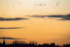 vol (domi2259) Tags: paysage vol oiseau coucherdesoleil montierender hautemarne échassier nature grues cendrées