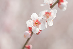 Japanese ume blossom (Yam@chan) Tags: japan nara tsukigase ume plum grove blossom 90mm f28 tamron macro nikon