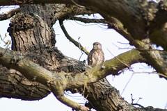 First Kestrel capture (Kay Musk) Tags: kestrel falcotinnunculus raptor birdofprey bird wildlife wild nature nikond3200 essex uk ngc npc