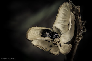 Semilla Hemerocallis