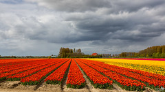 Gray, Pink, Yellow and Orange (BraCom (Bram)) Tags: bracom tulips tulpen cloud sky wolk trees bomen farm boerderij rows rijen lines lijnen agriculture landbouw bollenvelden bulbfields spring lente nieuwetonge goereeoverflakkee zuidholland nederland southholland netherlands holland canoneos5dmkiii widescreen canon 169 canonef24105mm bramvanbroekhoven nl