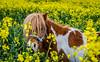 Shetland Pony playing at Backworth (ianpaterson1) Tags: shetland pony horse horselove equestrian northumberland backworth
