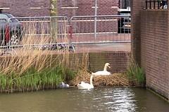 IMG_1517 (jjs-51) Tags: zwanen broekpolder swans
