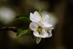 Apple flowers (Inka56) Tags: 7dwf hbw appleblossoms flowers apple bokeh closeup