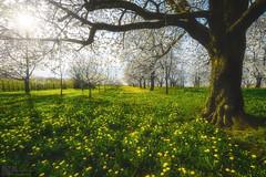 Cerisiers et pissenlits (steinmetznicolas) Tags: 2017 avril cerisiers fleurs schwartzwald flower sun yellow white nikon d610 1635