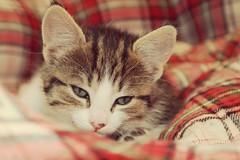 Kitty 001-013 (mcg0011) Tags: kitty cute manuelcarrasco katze kat katt kot mascota pet felino feline gatito