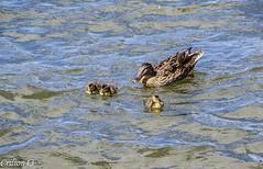 Maman et ses petits... (Crilion43) Tags: vichy france oiseaux paysage rivière canard allier auvergne cane caneton corbeau corneille eau merle pigeon plage
