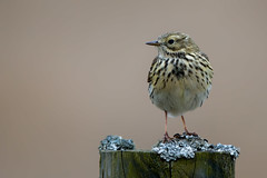 Meadow Pipit (Simon Stobart) Tags: meadow pipit anthus pratensis northeast england perched fence post ngc