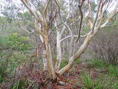 Eucalyptus racemosa 7 (barryaceae) Tags: scribbly gum track greenfields beach vincentia jervis bay nsw australia