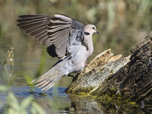 Red-eyed Dove , Schoondal_6170