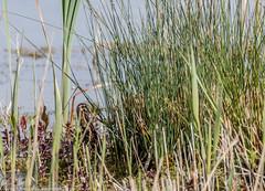 9Q6A4952 (2) (Alinbidford) Tags: alinbidford alancurtis brandonmarsh greyheron mallard commonsandpiper coot kingfisher canadagoose stockdove gadwall chicks waterrail blackcapmale kestrel snipe greensandpiper