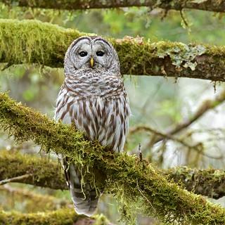 Barred Owl (r)