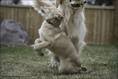 physics lessons (Dave (www.thePhotonWhisperer.com)) Tags: dogs mutt mixedbreed play yard impact retriever goldenretriever