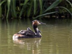 Grebe Family outing (hisdream) Tags: greatcrestedgrebe babies wildlife lake feeding