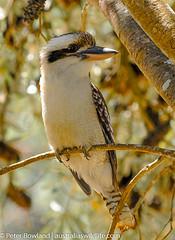 Laughing_Kookaburra (Australia's Wildlife) Tags: animal australia bird fauna kingfisher kookaburra laughingkookaburra