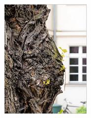 Grumpy Tree | Griesgram (Silke Klimesch) Tags: smileonsaturday seasonsbeauty tree pareidolia pareidolie grumpyoldmen baum treeface baumgesicht natur nature spring frühling primavera printemps olympus omd em5 mzuikodigitaled60mm128macro microfourthirds