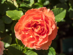 Orange Rose (melastmohican) Tags: rose sunny natural color season blossom floral gardening day beauty shrub fresh orange outdoor garden beautiful plant colorful bush flora love rosebush petal botanical outdoors nature nobody flower bloom field