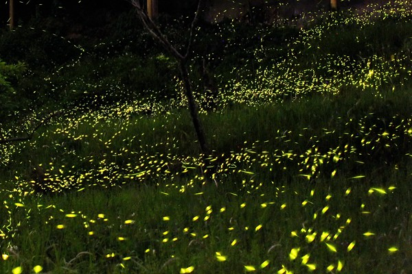 阿里山螢火蟲