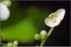 Hortensia. (Joop Rensema.) Tags: macro netherlands sony elements groningen tamron tamron90mm hortensia tamronspaf90mmf28di macrolife sonydslra230 sony230 elementsorganizer