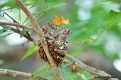 PICT2116 (Arno Meintjes Wildlife) Tags: africa bird nature southafrica wildlife safari krugerpark bird1 wildbird terpsiphoneviridis arnomeintjes africanparadiseflycatcherchicks