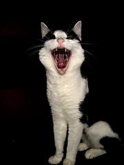 Daysi-1-1 (DocUnity) Tags: cats animals tiere katze katzen cot daysi
