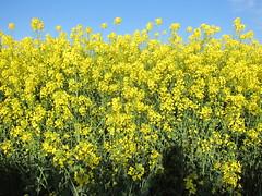 Mellow Yellow (ambo333) Tags: uk field harvest rape cumbria fields brampton canola rapeseed hayton yellowfields