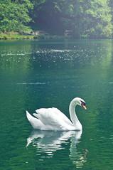 Swan (rupertalbe - rupertalbegraphic) Tags: white nature water animal mirror swan alberto mariani adda imbersago rupertalbe rupertalbegraphic