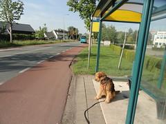2014-0917 (schuttermajoor) Tags: nederland hond che 2014 airedaleterrier waardenburg tielerwaardwandelroute