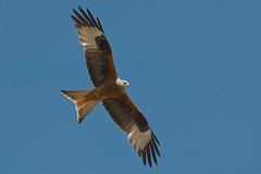 Red Kite (stanley.ashbourne) Tags: uk red kite bird nature wildlife oxfordshire standlake nikond7000