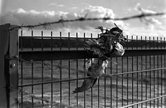 """Und die Mchtigen sagen: """"Seid folgsam...!"""" (skinner08) Tags: white black bird analog self canon fence dead stand a1 agfa zaun developed schwarz kiel schleswigholstein 1100 kaserne 1h apx400 weis kleinbild aph09 frontex adolux"""