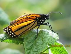 Monarch Butterfly South Coast Botanic Garden_4808 (pekabo90401) Tags: butterflies monarchbutterflies southcoastbotanicgarden pekabo90401