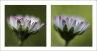 Pink tinged daisy