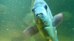FISH (Elysia in Wonderland) Tags: fish animals zoo blog video screenshot still teeth vlog screenshots chester videos stills vlogs monobrow youtube initiallycamerashy