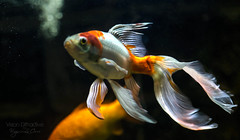 Goldfish ((Virginie Le Carré)) Tags: light orange fish aquarium goldfish bokeh