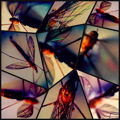 the bejeweled mosquito (thegoreyend) Tags: macro collage manipulated bug insect dead wings blurry saturated colorful mosaic mosquito montage iphone deadmosquito diptic mobilephotography iphotograph kitcamera iphoneography olloclip