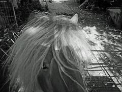 A Horse's Hair (Eddy Allart) Tags: horse caballo cheval pony paard crines