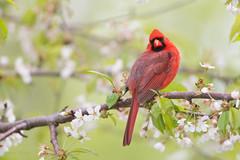 _53F1820 Northern Cardinal (~ Michaela Sagatova ~) Tags: spring dundas malecardinal cardinaliscardinalis birdphotography dvca michaelasagatova