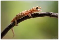 Hemidactylus turcicus (Thor Hakonsen) Tags: cyprus lizard gecko paphos gekko pafos reptilia squamata gekkonidae hemidactylusturcicus europeanhousegecko