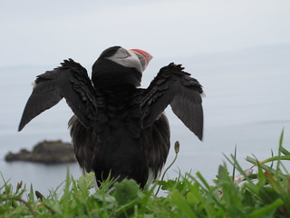 drying puffin