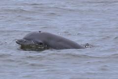 Dophin Fin Identification Photo (WabbyTwaxx) Tags: north kites atlantic roanoke dolphins sound carolina identification fin tours kittyhawk bottlenose