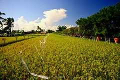 Rice Paddy Fields (Twang Photography) Tags: sky bali sun clouds landscape restaurant sand rice farm 20mm kuta legian northkuta legianbeachkuta beachindonesiabeachsunsetricepaddyfields