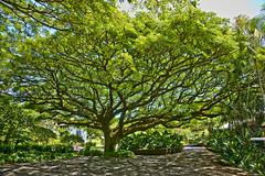 Tree with spreading limbs, Poipu, Kauai, Hawaii (JimBoots) Tags: